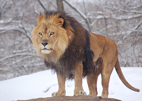Lavovi / Lions pictures African-Lion-Panthera-leo-Male-Pittsburgh-2800px