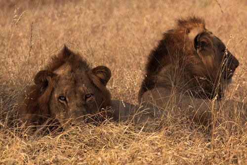 Lavovi / Lions pictures - Page 2 11676855