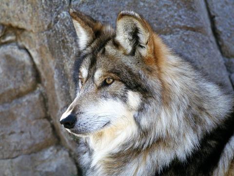 Wolf - Page 4 Vuk