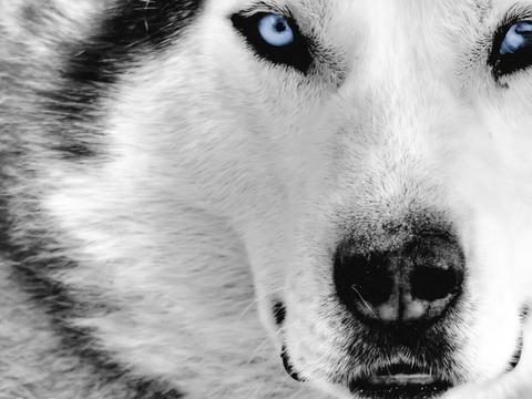 Wolf - Page 4 Vuk-sa-plavim-ocima