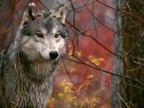 Wolf - Page 4 Vuk-u-sumi